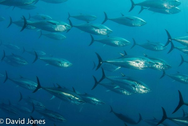 shoal of Mediterranean tuna
