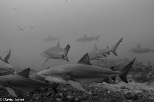 Bull sharks in Fiji