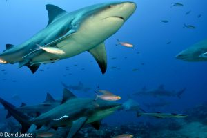 Lots of Bull sharks in Fiji