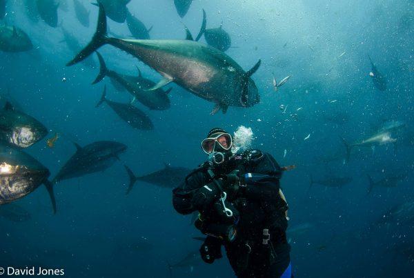 big bluefin tuna swirling