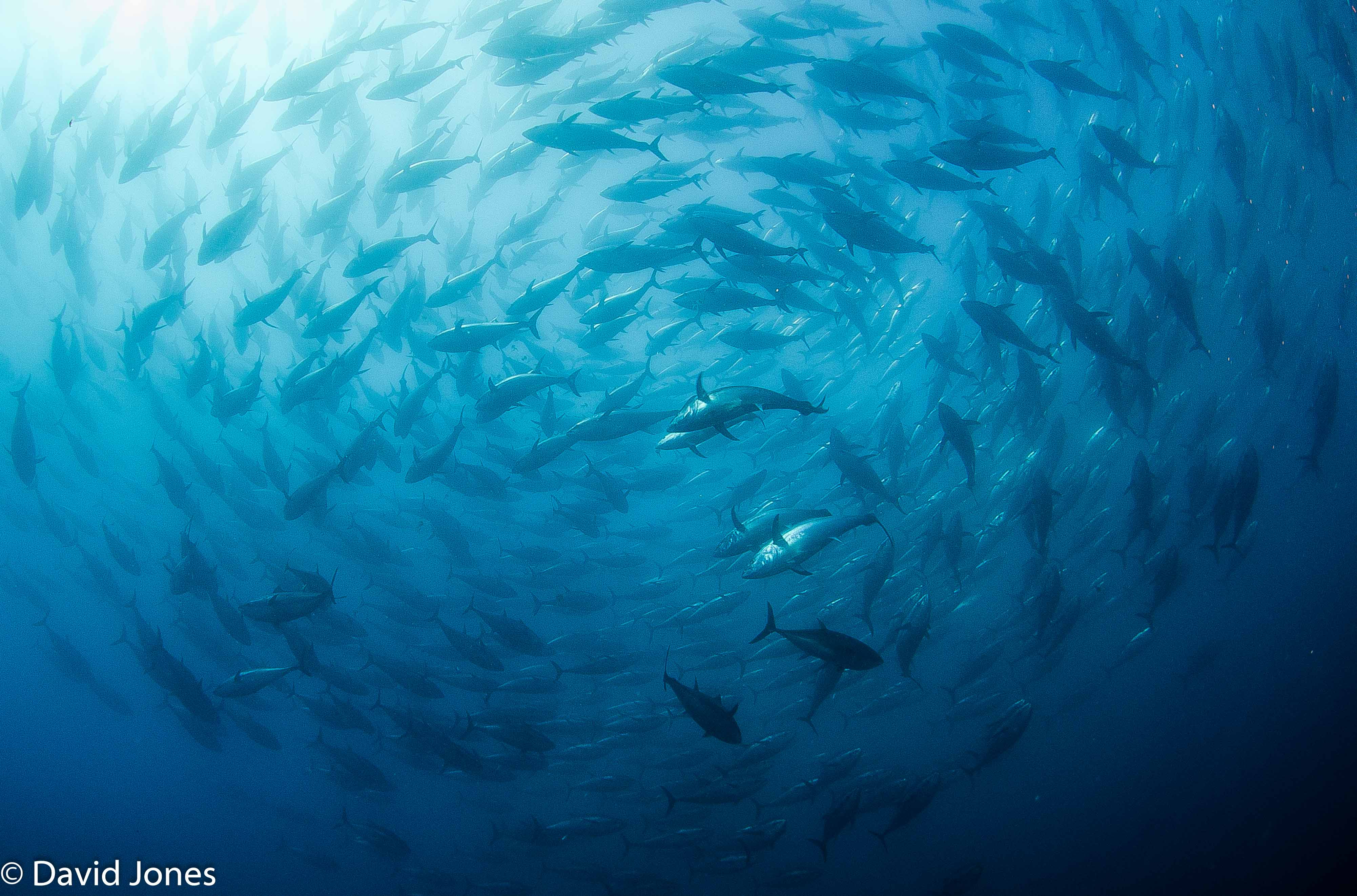 bluefin shoal swirling