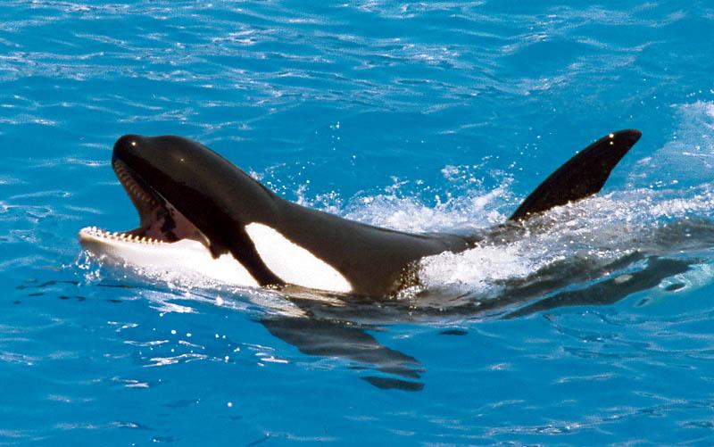 orca in captivity