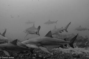 Bull sharks in Fiji