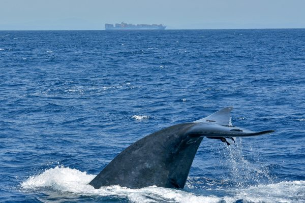 A Blue Whale dives close to the shipping lane