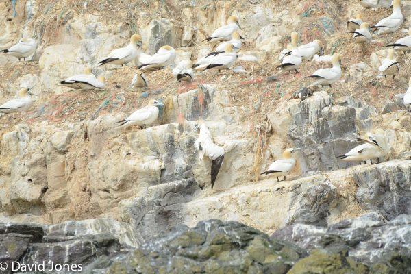 Gannet hanging in plastic fishing line