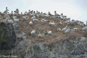 Gannet nesting on fishing line