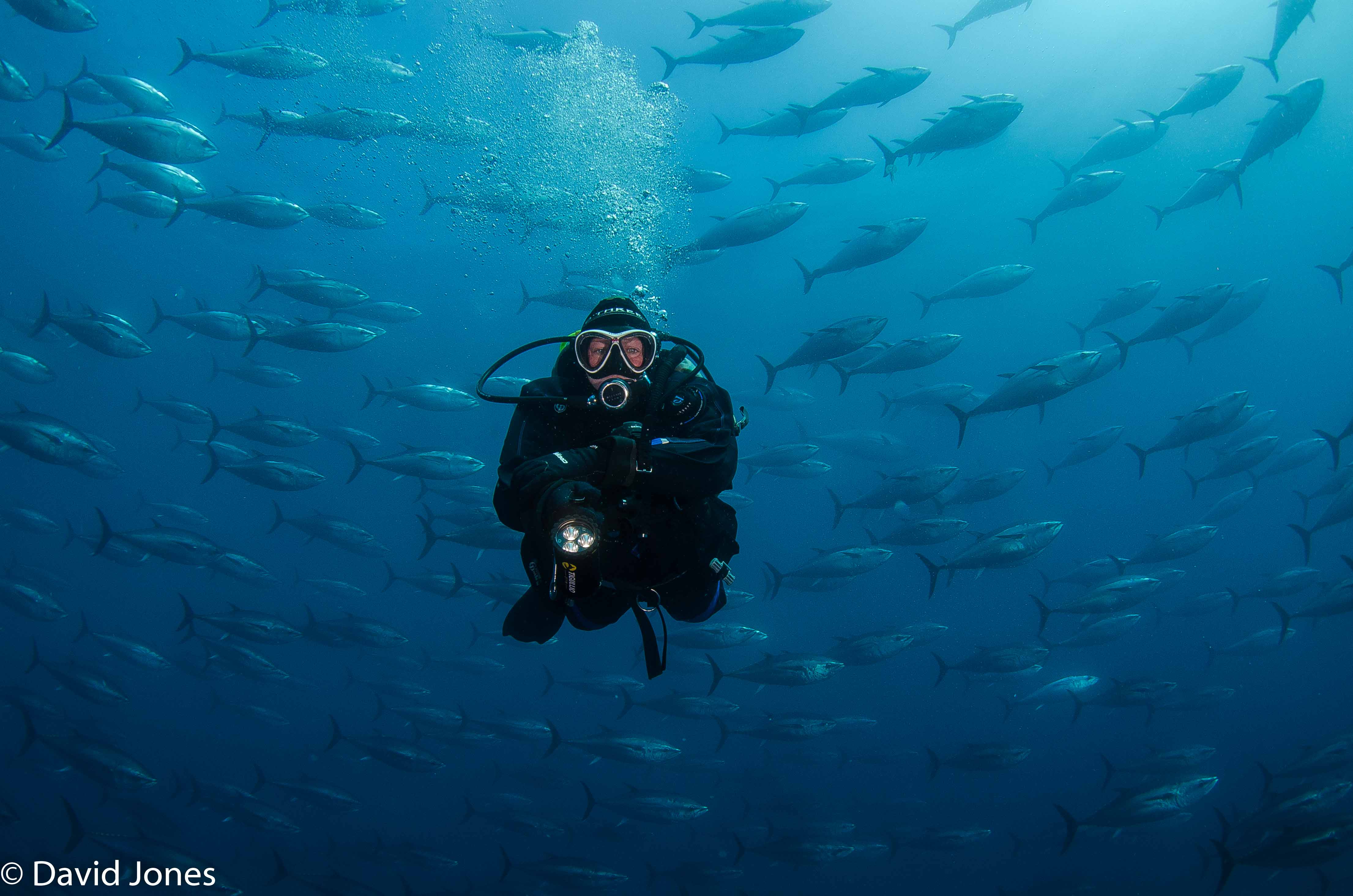 diver and bluefin shoal swirling