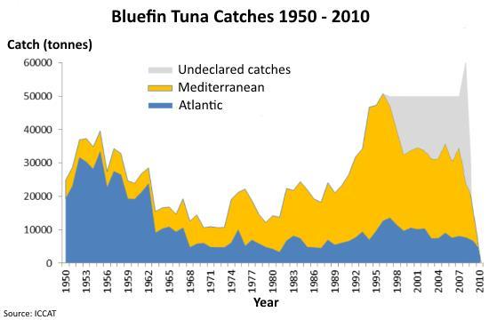 Bluefin tuna catches