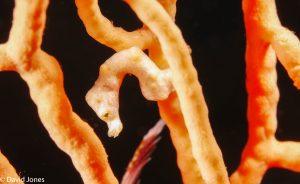seahorse orange camouflage